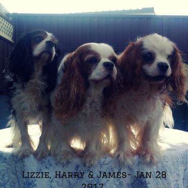 My Three Cavalier King Charles Spaniels – Jan 2017